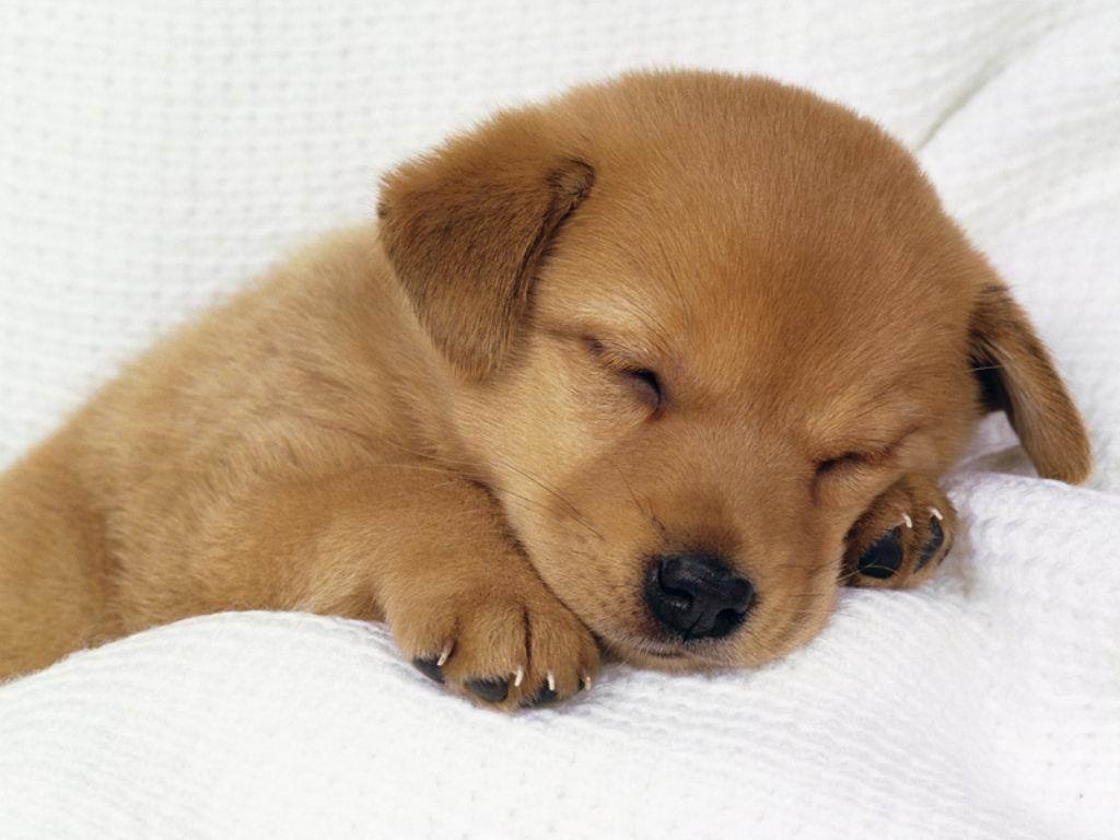 cane cucciolo che dorme