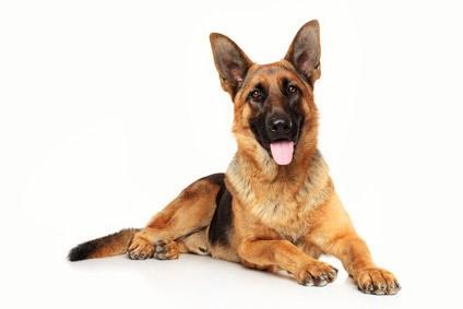 displasia anca cane