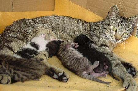 gravidanza gatta